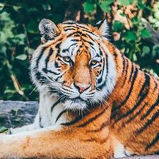 Bronx Zoo tiger
